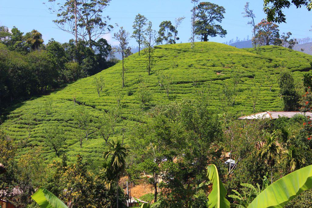 Шри-Ланка, плантации